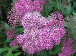 Grappe de fleurs petites, mais attirantes, pas seulement pour les humains !