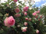 Rose ronsard, tous les ans, la même merveille.....