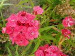 Oeillet de Chine (Dianthus sinensis) Photo prise dans le Morbihan