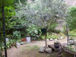 Olea europaea 11 ans Dr�me des collines 26750 Chatillon St Jean. Premi�re fructification. (20-07-2014)