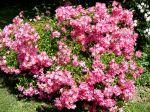 Mon rosier Cumbaya en pleine floraison