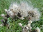 Cirse des champs (Cirsium arvense). Après la floraison, il ne reste qu'une chevelure de vieillard volant au vent