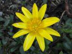 Ficaire fausse-renoncule (Ranunculus ficaria) ou Ficaire. -Détail de la fleur photographiée à Arpajon (91)