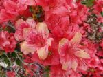 Azal e azalea planter cultiver multiplier for Quand planter un rhododendron
