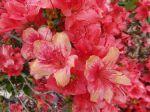 Azal�e japonaise -D�tail des fleurs- photographi�e � Billiers (56)