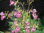 Balsamine de l'Himalaya (Impatiens glandulifera) -Feuilles et fleurs- photographiée aux bords de la Rémarde (91). Plante invasive dans la nature: à détruire !