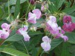 Balsamine de l'Himalaya (Impatiens glandulifera) -Détail des fleurs- Bords de la Rémarde (91); Quel dommage de détruire de si belles fleurs !