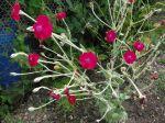 Coquelourde des jardins (Lychnis coronaria)