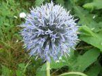 Chardon boule ou Boule azur�e (Echinops ritro) -Inflorescence en capitule-