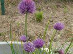 Ciboulette ou Civette (Allium schoenoprasum) photographiée à Gien (45)