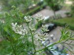 Coriandre en fleurs (Coriandrum sativum) photographié sur mon balcon