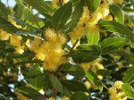 Laurier-sauce ou Laurier noble (Laurus nobilis) en fleurs