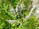 Menthe verte en fleurs (Mentha spicata) de Le Vigan (30)
