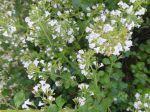 Sarriette commune ou P�bre d'ai ou P�bre d'ase (Satureja hortensis)