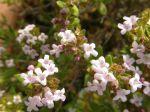 Thym commun (Thymus vulgaris) -Détail des fleurs- photographié à Pithiviers-le-Vieil (45)