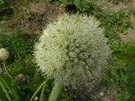 Oignon -Détail de l'inflorescence en boule- et Bourdon des pierres (Bombus lapidarius)