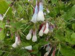 Consoude officinale ou Grande consoude (Symphytum officinale) -Feuilles et fleurs-