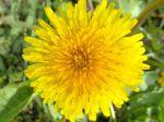Pissenlit (Taraxacum) en fleur photographié à Arpajon Bords de la Rémarde (91)