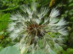 Pissenlit -Aigrettes d'akènes après orage-