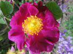 Rosier rugueux ou Rosier du Japon (Rosa rugosa) et Syrphe ceintur� photographi�s � de Paris Jardin des Tuileries