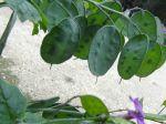 Lunaire annuelle (Lunaria annua) -Fruits en siliques à travers desquelles se voient les graines-