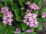 Myosotis roses (Fleurs cultivées et non sauvages)