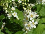 Amélanchier bartramiana -Détail des fleurs et des feuilles- de Brétigny-sur-Orge (91)