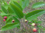 Amélanchier à feuilles ovales (Amelanchier ovalis) -Feuilles et fruits- d'Arpajon- Parc de la La Prairie