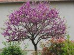 Arbre de Judée (Cercis siliquastrum) au printemps