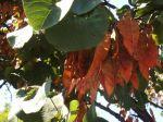 Arbre de Judée (Cercis siliquastrum) -Feuilles et fruits (gousses rougeâtres)- photographié à Marseille 10ème