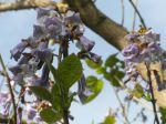 Paulownia tomentosa -Fleurs et feuilles- au printemps