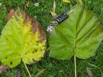 Paulownia tomentosa -Feuilles de dimensions impressionnantes en automne-