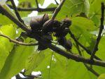 Paulownia (Paulownia tomentosa) -Fruits (capsules en voie d'ouverture qui restent sur les branches jusqu'à l'année suivante) et feuilles-