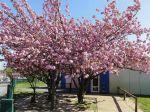 Cerisier du Japon (Prunus serrulata) au printemps
