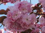 Cerisier du Japon (Prunus serrulata) -fleurs en grappe au printemps-