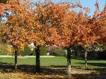 Cerisiers du Japon (Prunus serrulata) en automne, féerie d'or et de cuivre