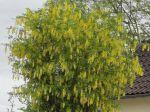 Cytise faux-ébénier ou Cytise à grappes (Laburnum anagyroides) en fleurs