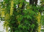 Cytise faux-ébénier ou Cytise à grappes (Laburnum anagyroides) -Feuilles et fleurs-