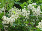 Lilas blanc (Syringa vulgaris) des bords de l'Orge (91)