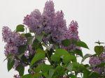 Lilas rose (Syringa)