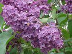 Lilas violet (Syringa vulgaris) -détail des fleurs-