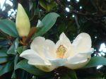 Magnolia grandiflora -Fleurs et bouton floral-