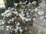 Magnolia étoilé (Magnolia stellata)
