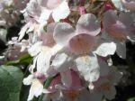 Kolkwitzia amabilis -Détail des fleurs-