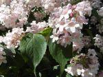 Kolkwitzia amabilis -Fleurs et feuilles-