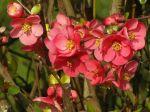Cognassier du Japon (Chaenomeles japonica) -D�tail des fleurs-