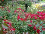 Eglantiers roses (Rosa canina) d'Arpajon