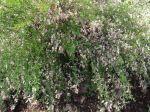 Genêt 'Zeelandia' (Cytisus Zeelandia) photographié à  Vincennes (94)