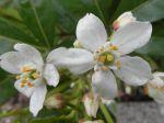 Oranger du Mexique (Choisya ternata) - Détail des fleurs -
