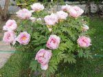 Pivoine arbustive rose (Paeonia suffruticosa)